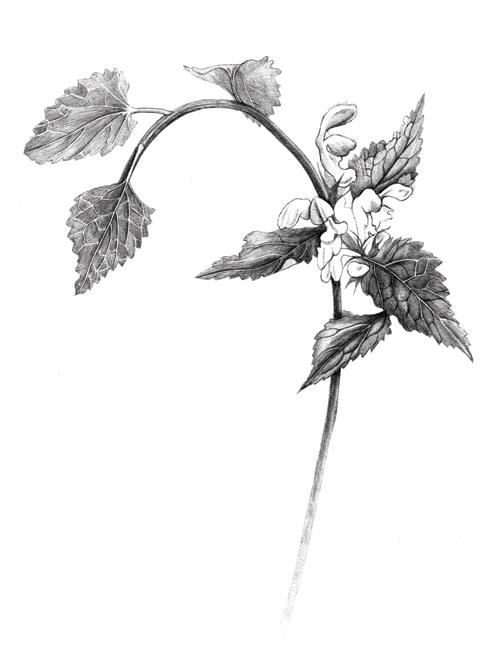 White/Dead Nettle