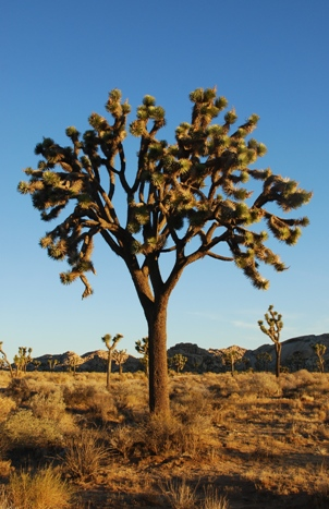 (Jarek Tuszynski)   Joshua Trees (Yucca brevifolia) at sunrise in Joshua Tree National Park near Hidden Valley Campground