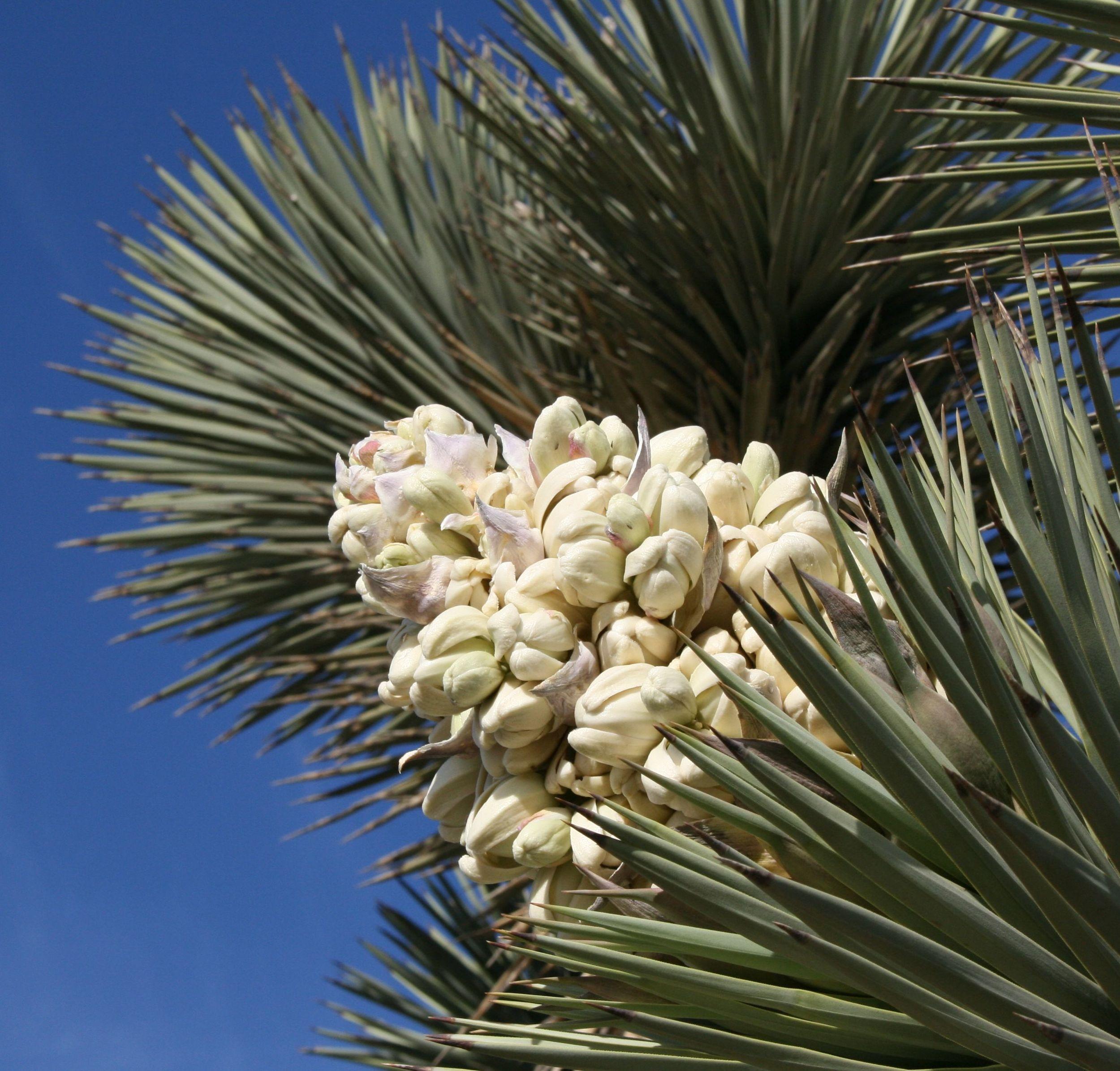 (Takwish)   Joshua Tree ( Yucca brevifolia ) panicle (inflorescence). Mojave Desert near Kramer Junction, California