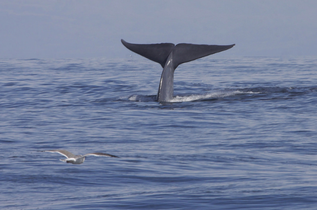 "Photo credit: Blue Whale (Balaenoptera musculus) by Gregory ""Slobirdr"" Smith"