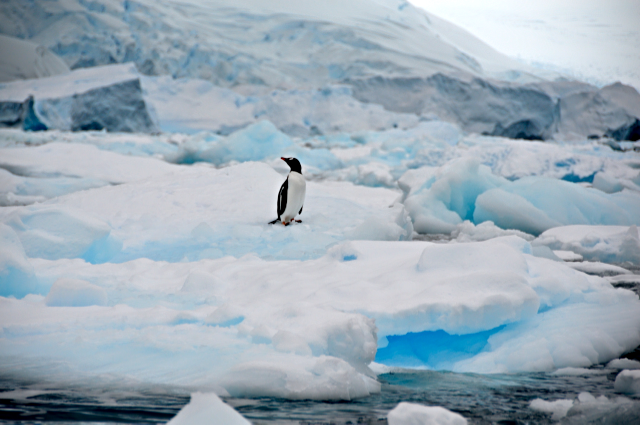 Gentoo Penguin on Brash Ice - Neko Harbour, Antarctica