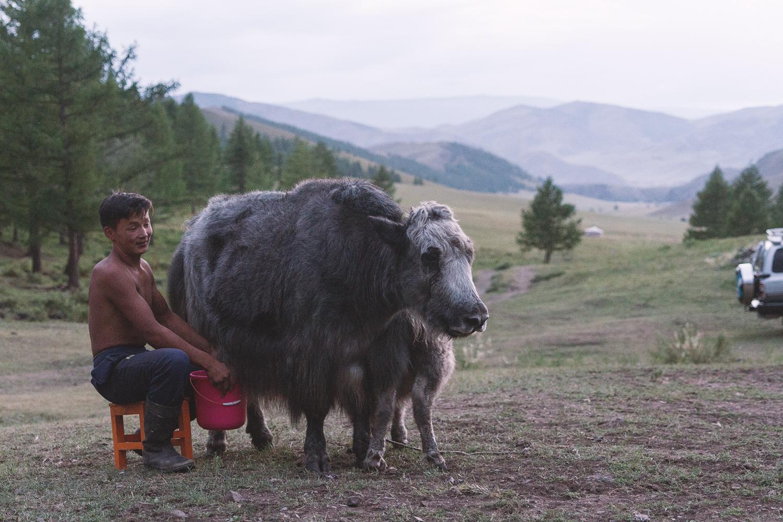 Melking av yak'ene