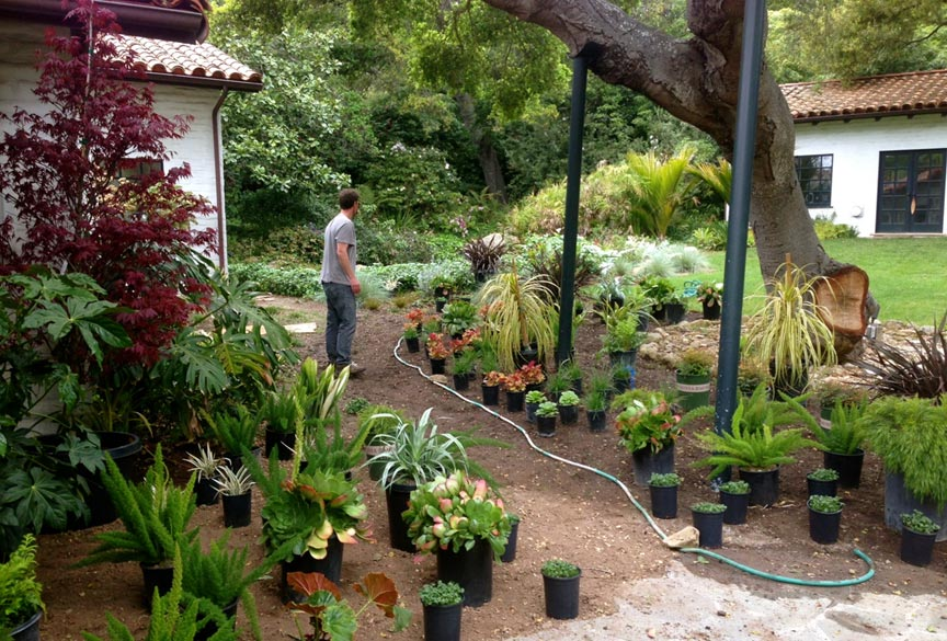 Removal of lawn underneath mature coast live oaks and replacing with informal path and an exciting blend of succulents, perennials, and grasses.