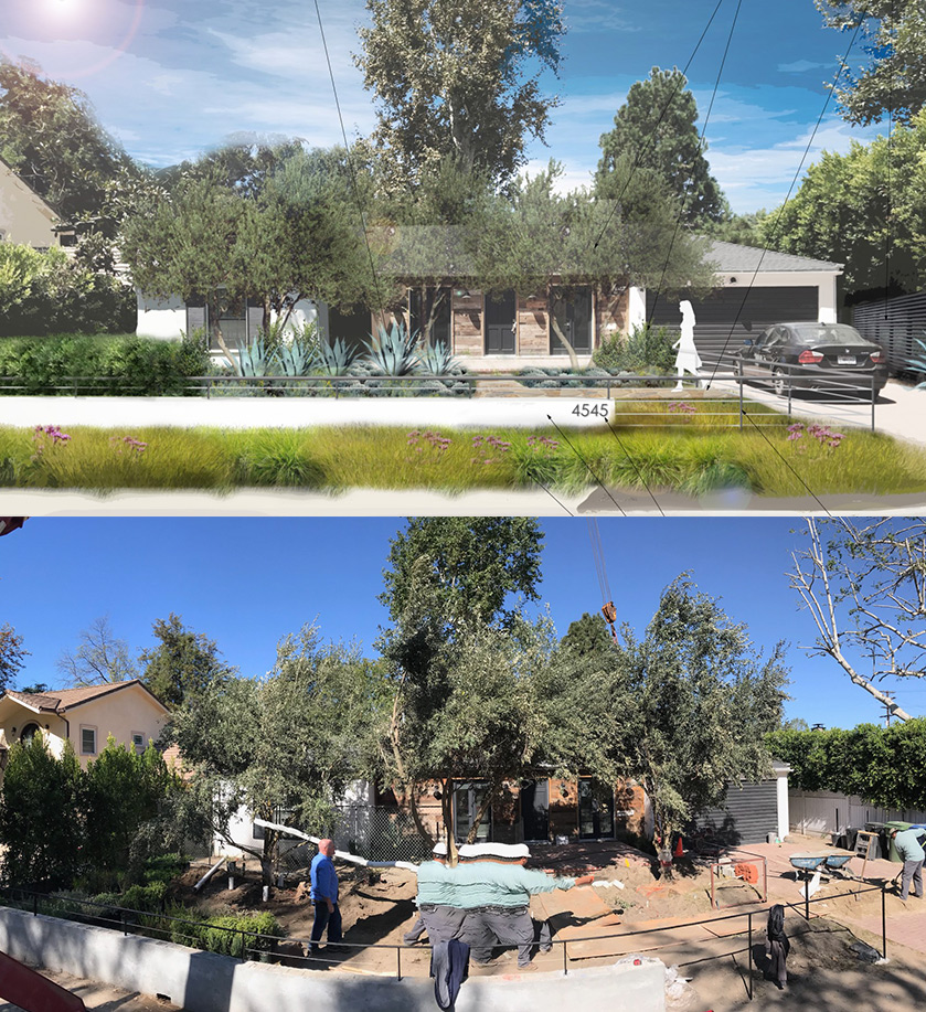 TOLUCA LAKE RESIDENTIAL REHAB: Field-dug olives craned into place. Great progress!