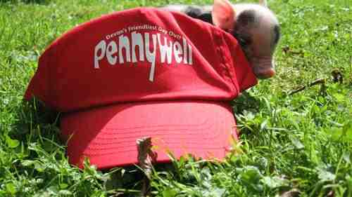 Pennywell Farm mini pig.jpg