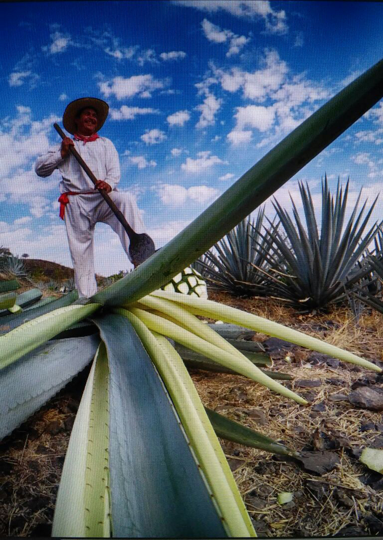 Behind the scenes at our agave harvest with filmmaker Janosh Chassan and photographer Sean Reagan.
