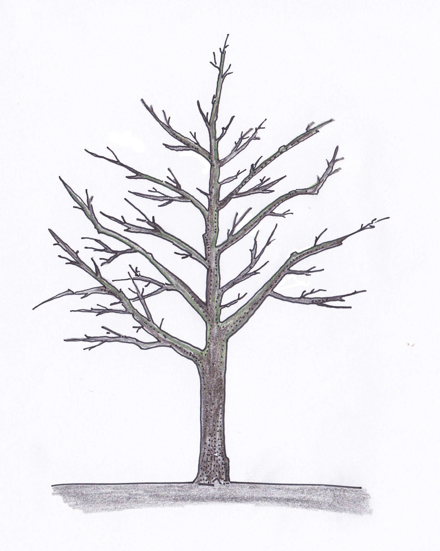 Fruchtholzverjüngung nachher