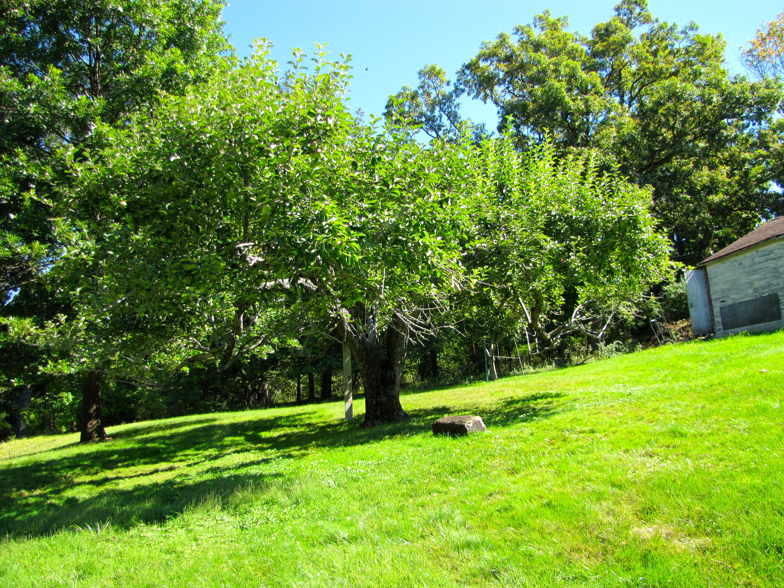 The one hundred year old apple tree
