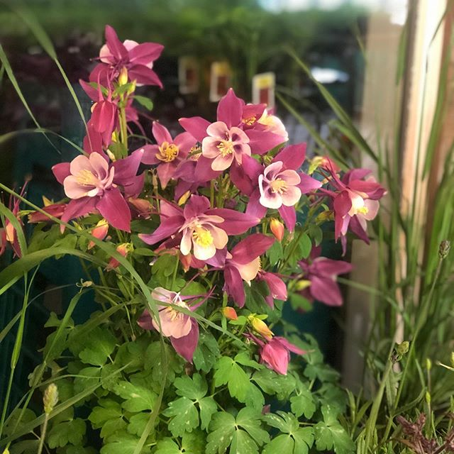 As we were preparing for our Mother's Day Garden Bazaar, we had to pause when we unloaded these beautiful Columbine flowers. Our hearts go out to those affected by the recent violence at the STEM School here in the Denver Metro area.
