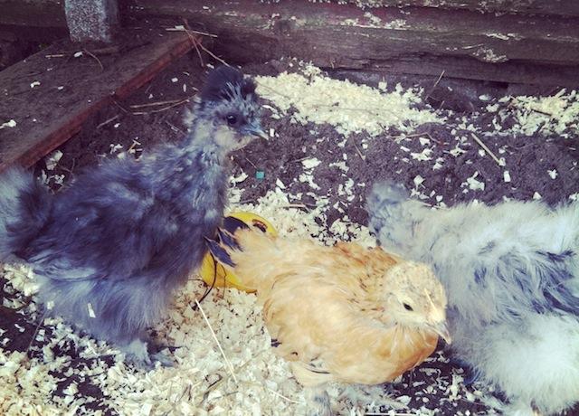 Paula & Greg's baby chicks.