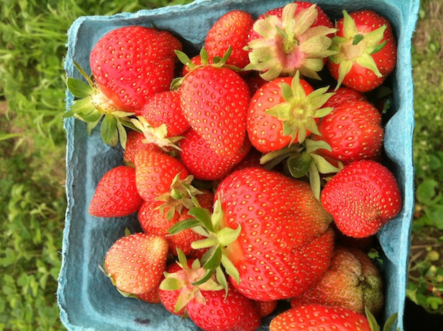 Strawberry picking with my mom and dad. Already ate 'em all.