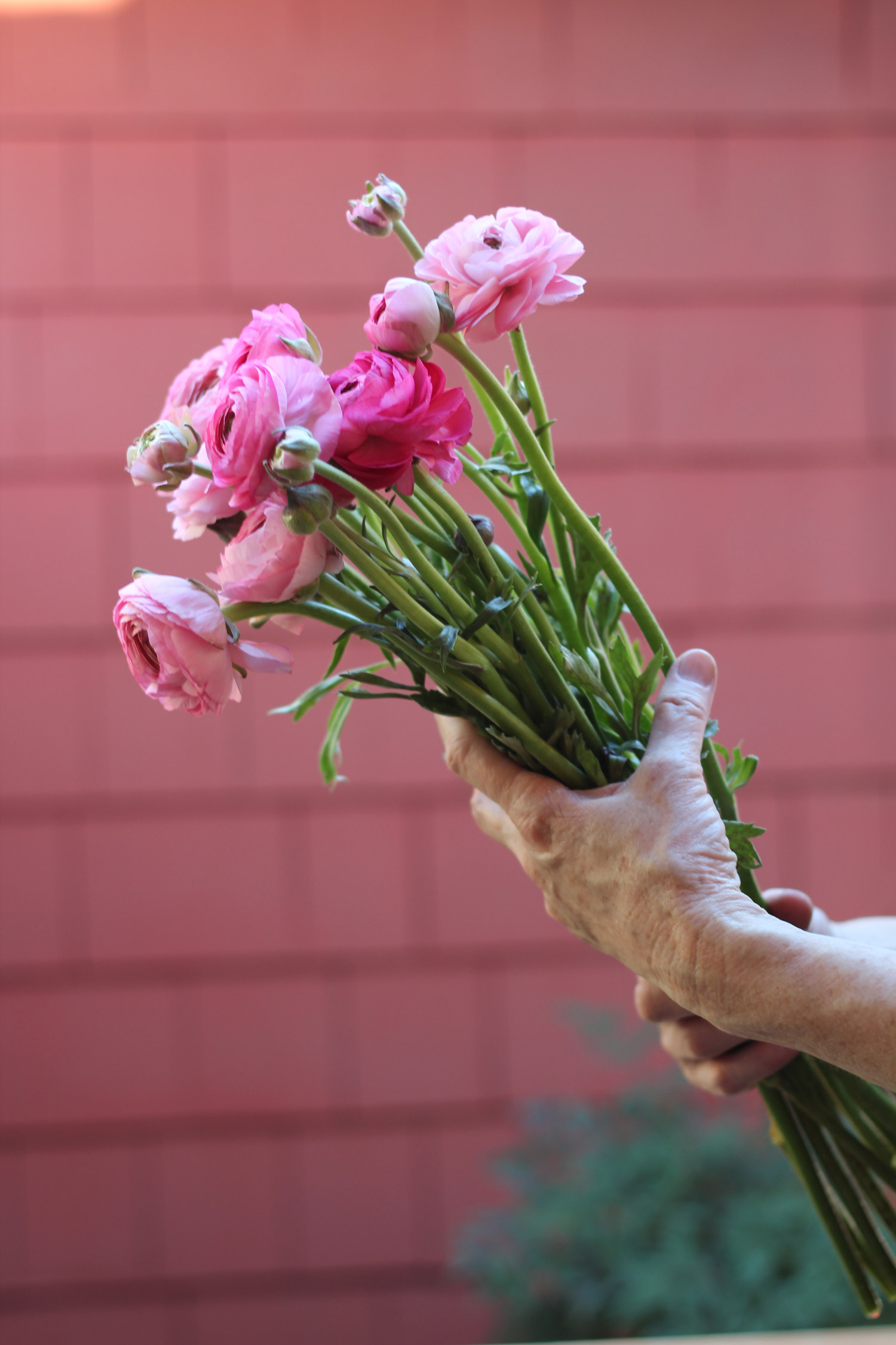 Cut 12 ranunculus blooms, and 6buds 4 - 6 inches long.