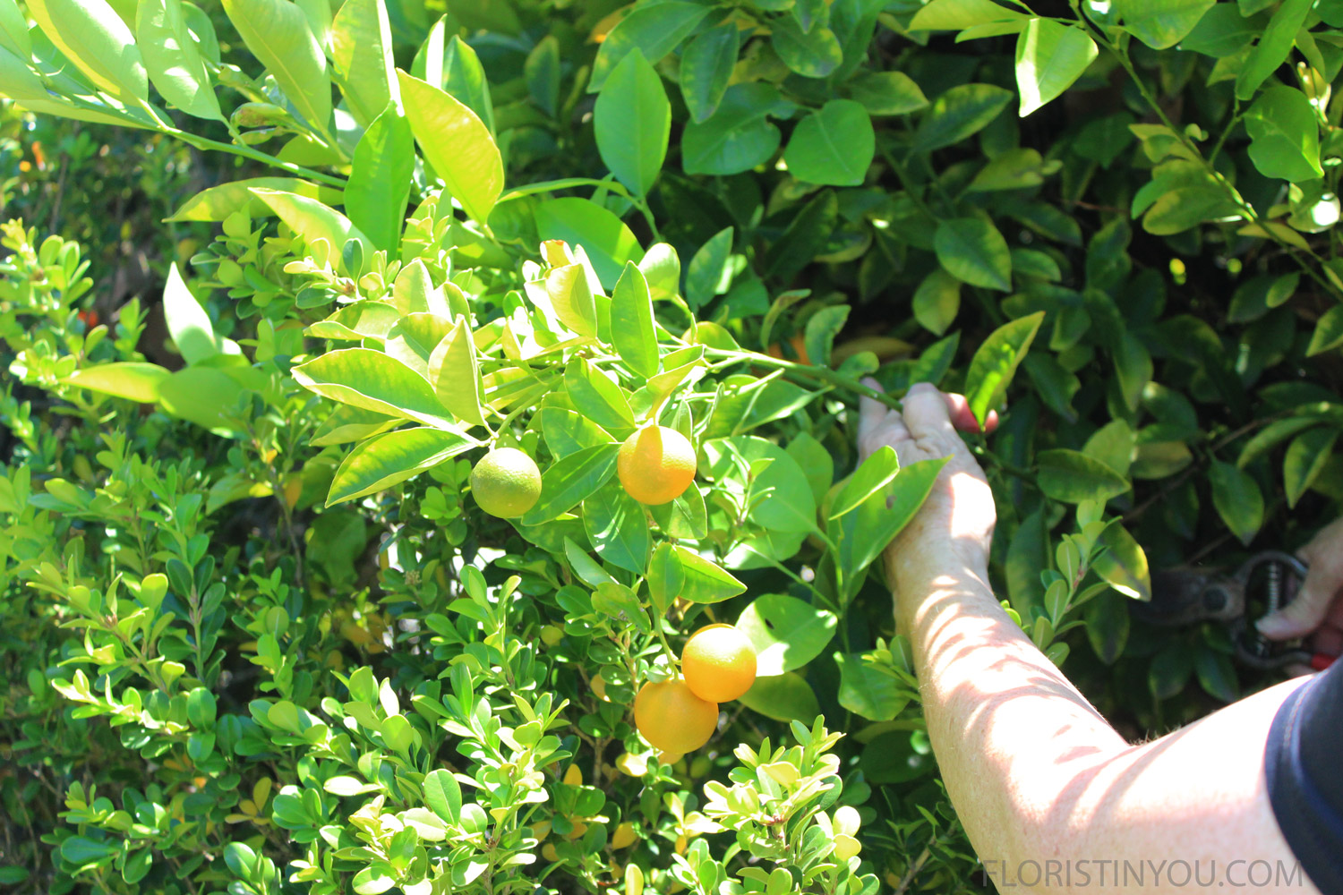 Cut 6 stems. This is called a Calamondin Lime tree.