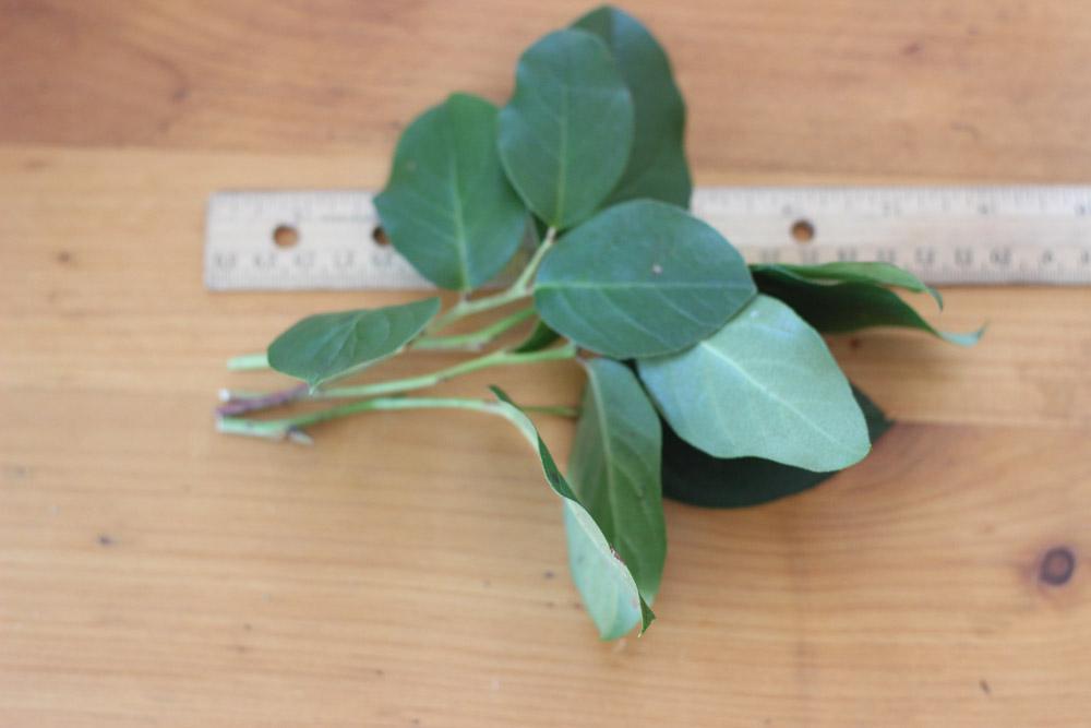 Cut 4 lemon leaf 7 inches long.