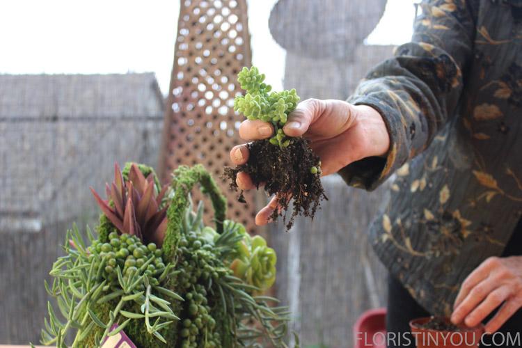 Loosen roots on 'Donkeytail'. Loosen extra dirt.