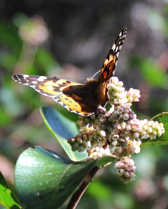 Monarch butterflies fly around the wildflowers.