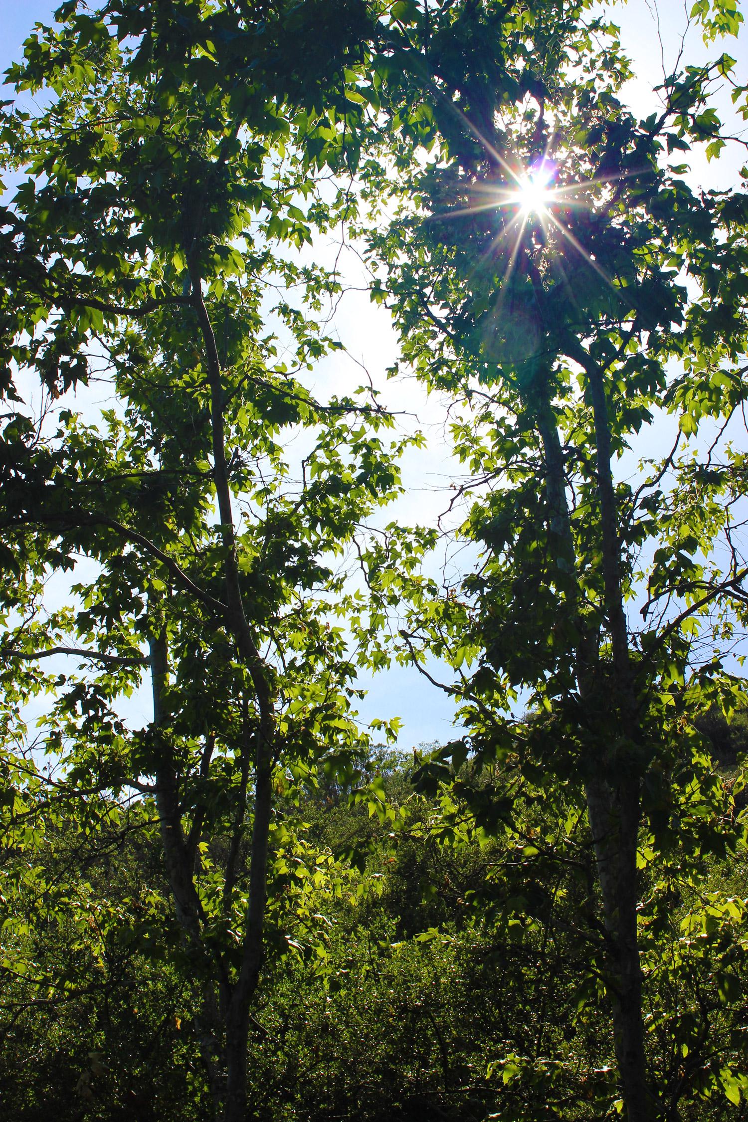 Twin trees provide refreshing shade.