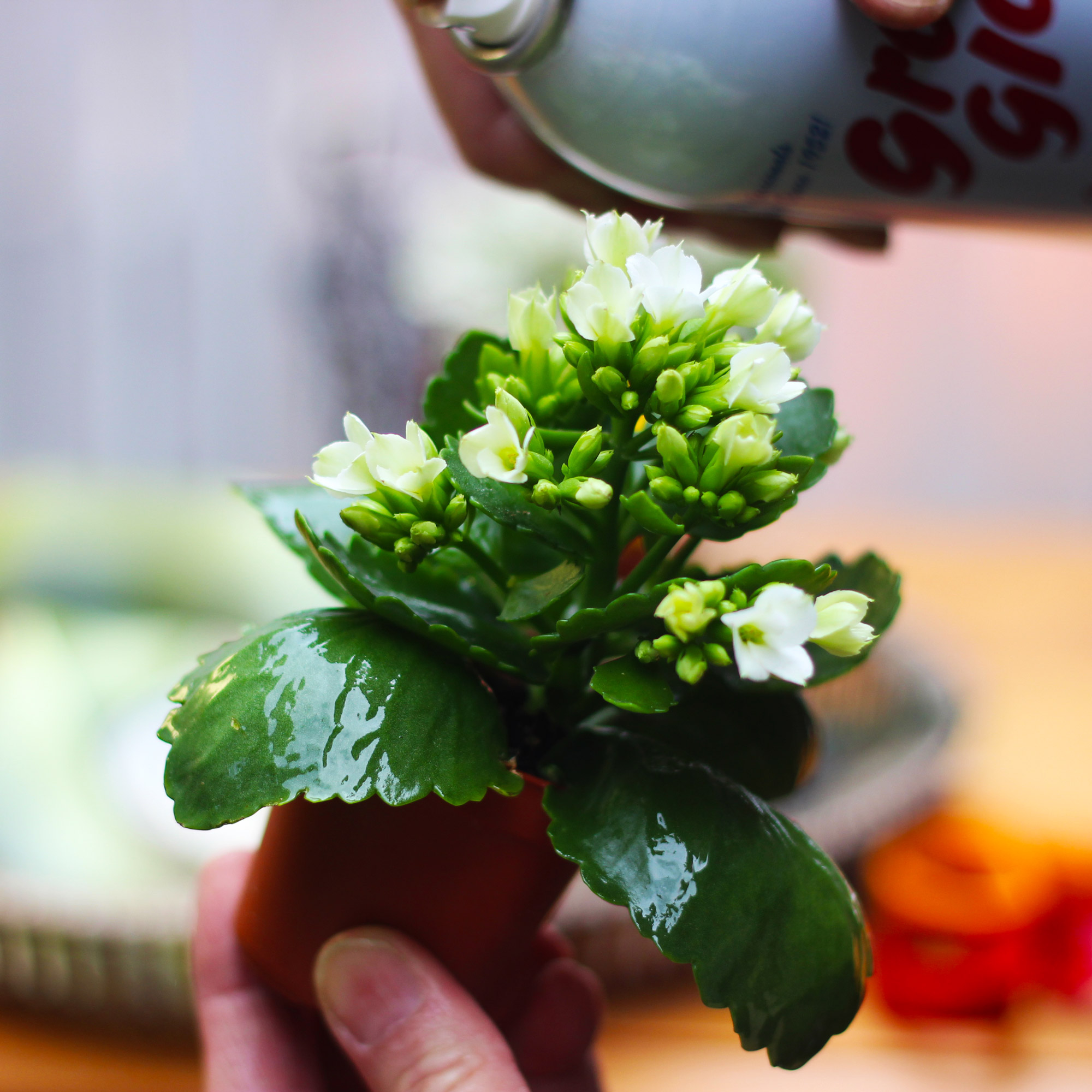 Go outside and spray green leaves ofKolanchoe...