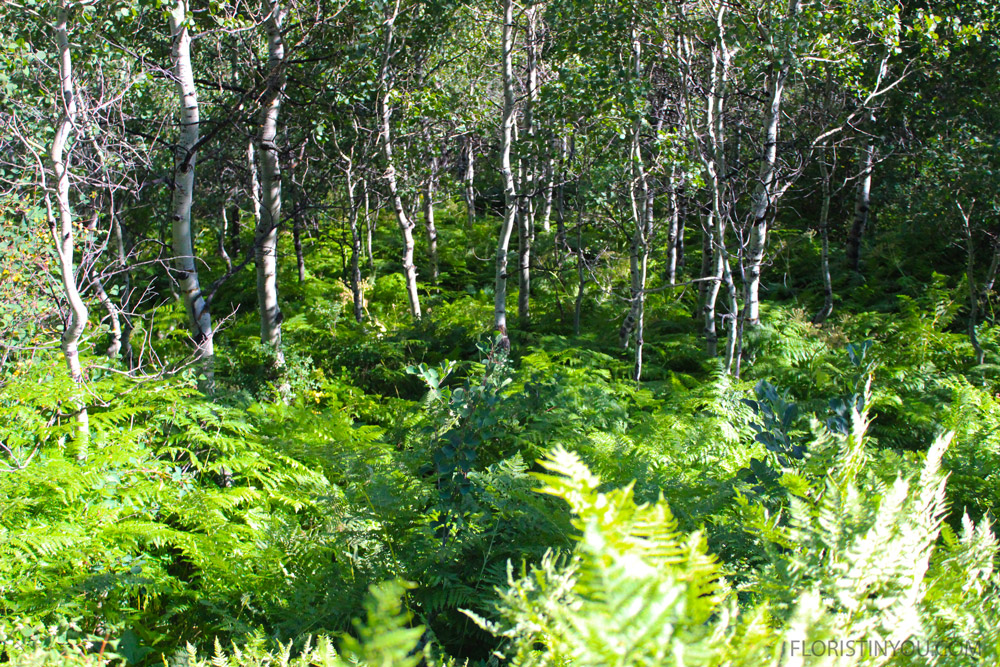 The forest floor is blanketed in thousands of lacy ferns...