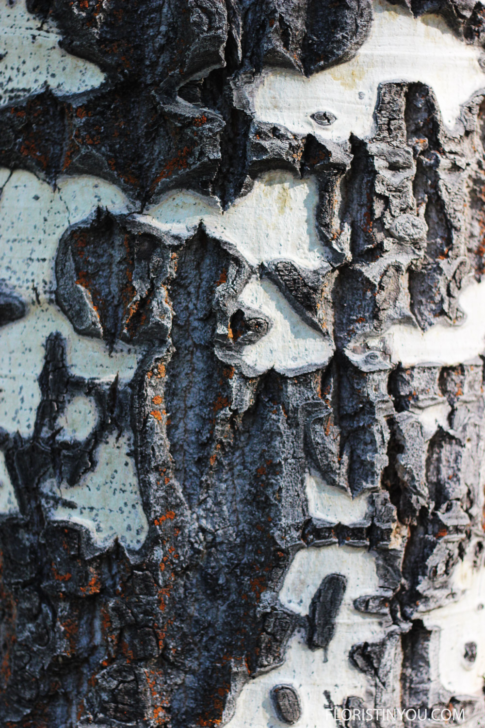 The aspen bark is a great study in black &white contrasts.