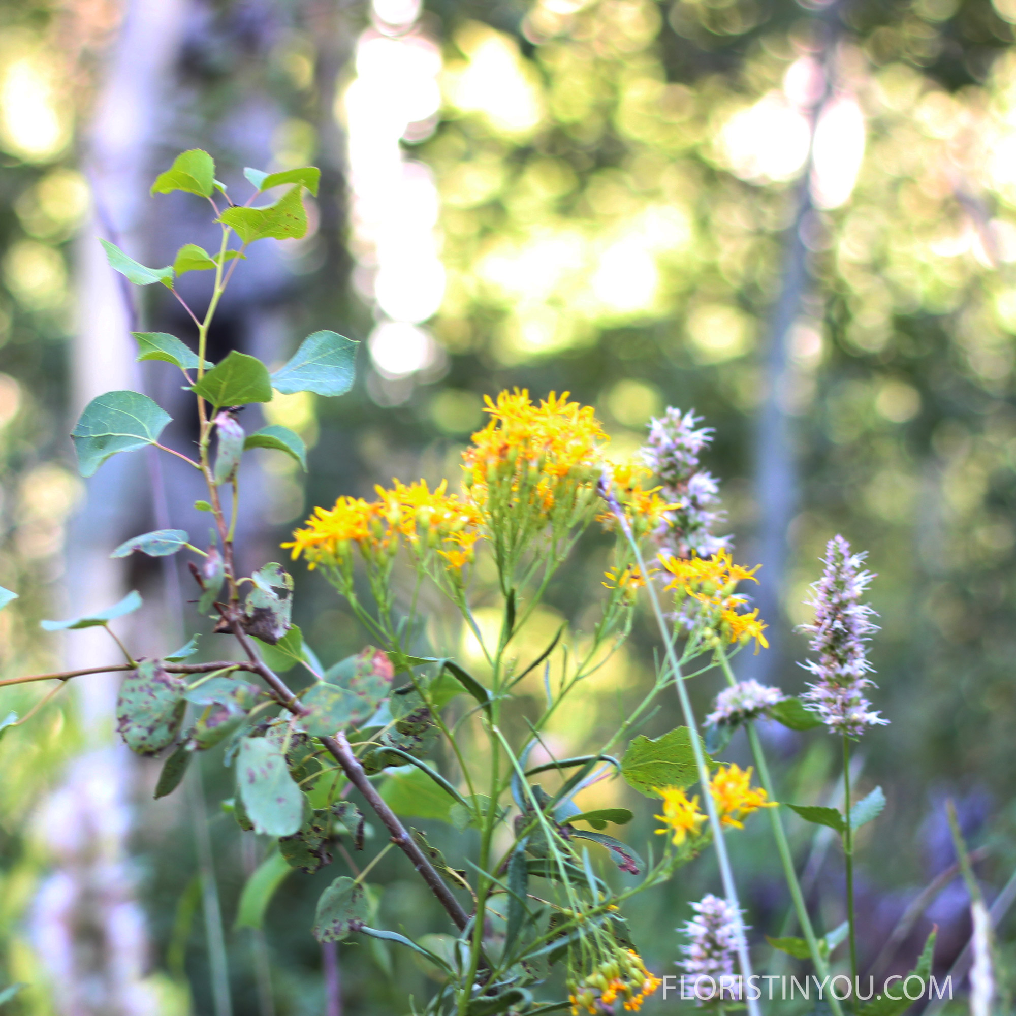 The yellow flowers may be  Saw Groundsel   Senecio serra.