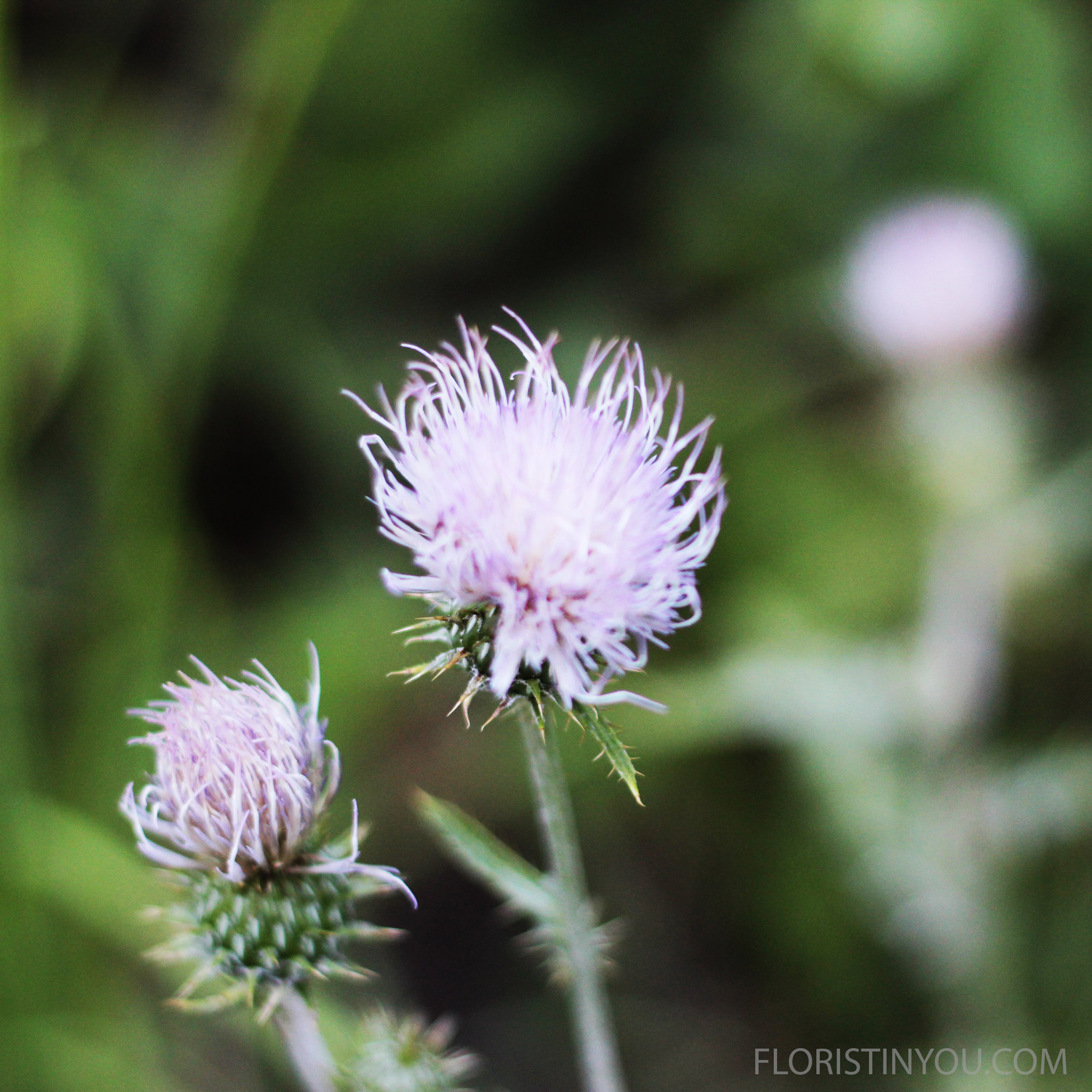 The  Utah Thistle  Cirsium neomexicanum  reminded me of Andy Warhol's hair.