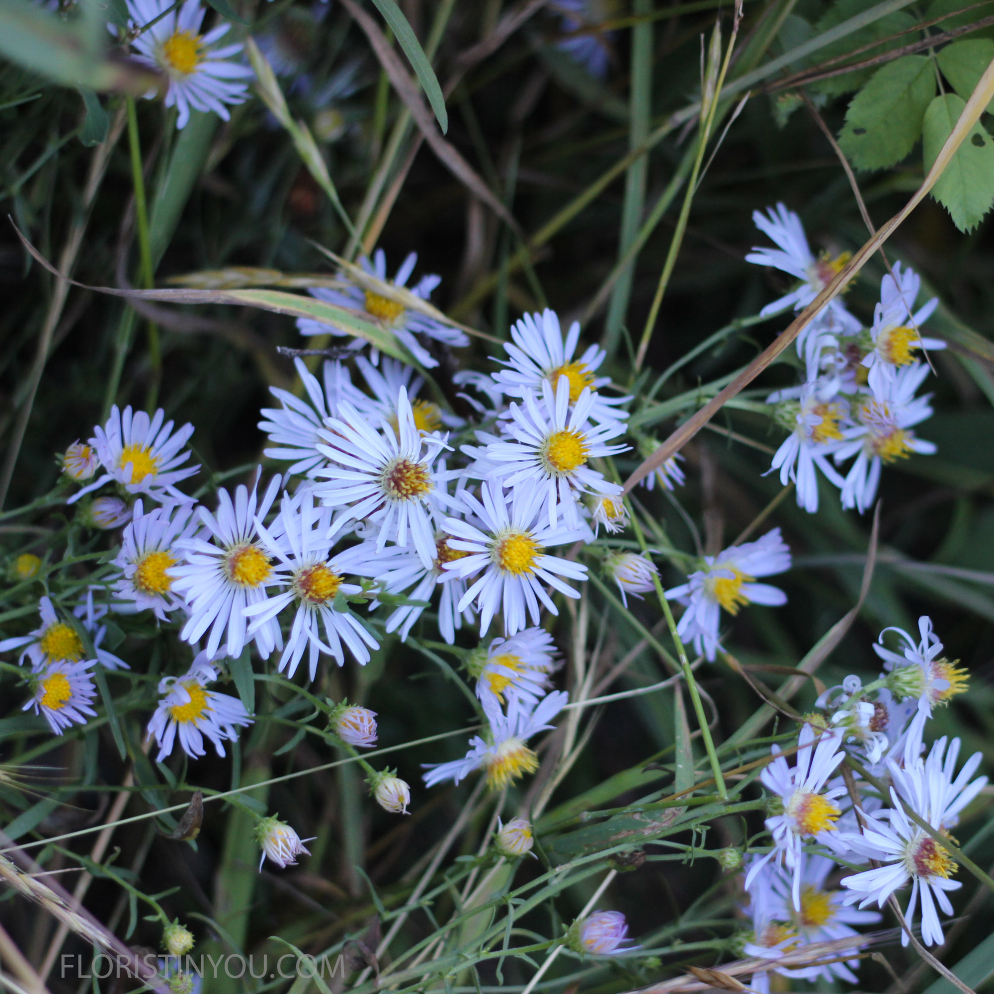 Pacific Aster   Aster ascendens  peek out between grass blades. Their petals look like lavender eye lashes.