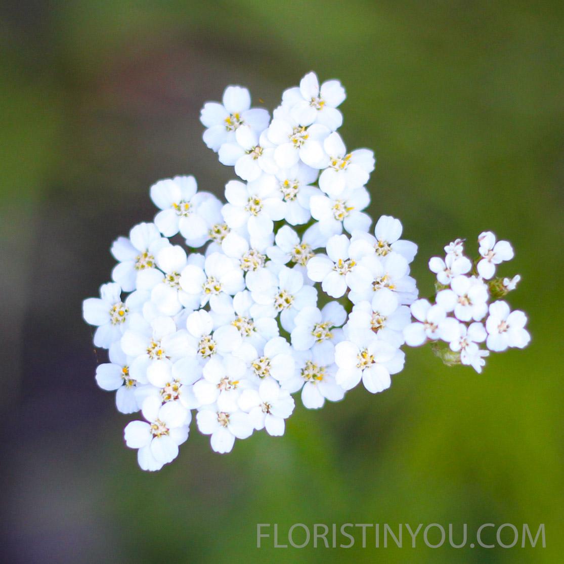 Filfoil Yarrow  Achillea millefolium  is a petite fragrant wildflower.