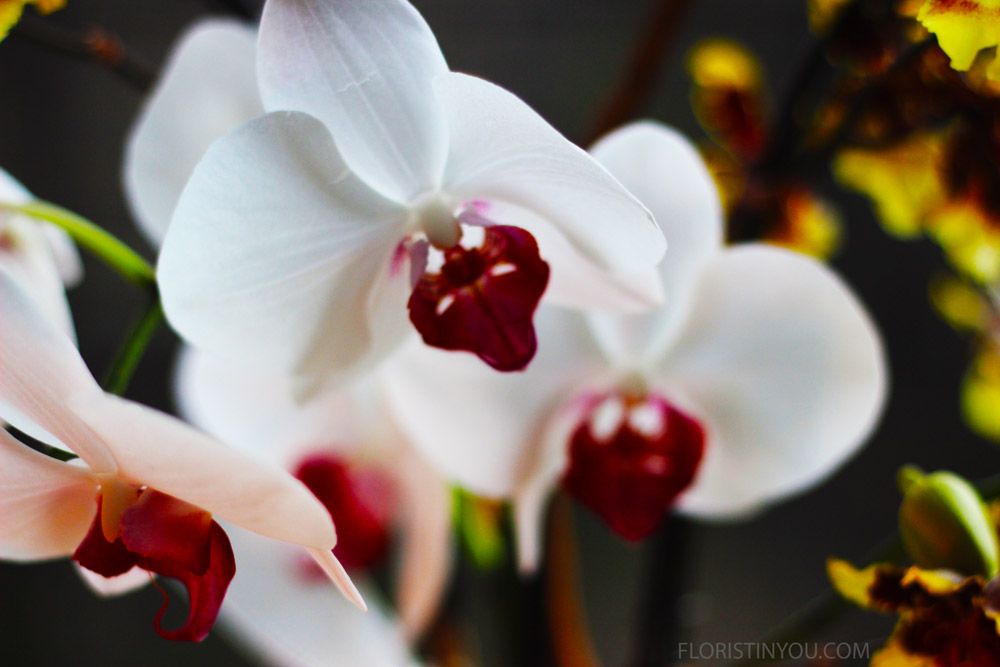 Some close ups of the Phalaenopsis.