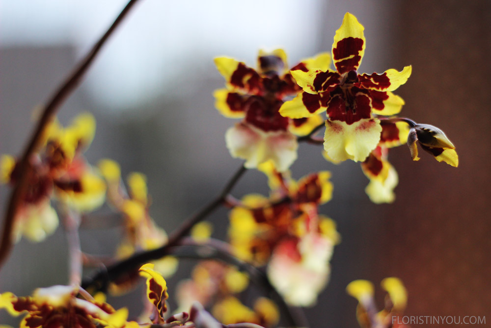 """Close ups of the """"Dancing Lady Orchids""""."""