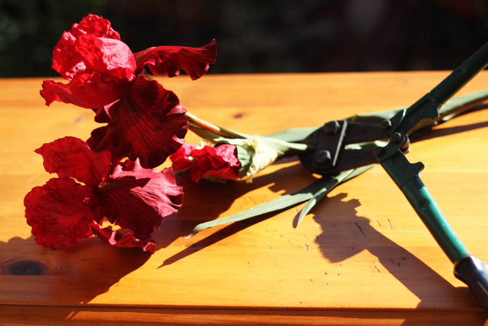 Cut bearded iris about 9 inches long. Cut rose the same.