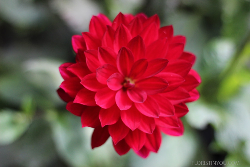 This fire red Dahlia is a show stopper.