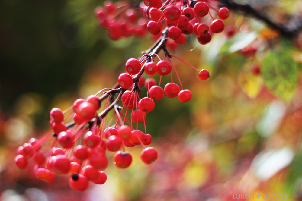 Her heart is the same color as these brilliant berries on a nearby tree.  Good-by Portland.  It is time to drive down the coast.