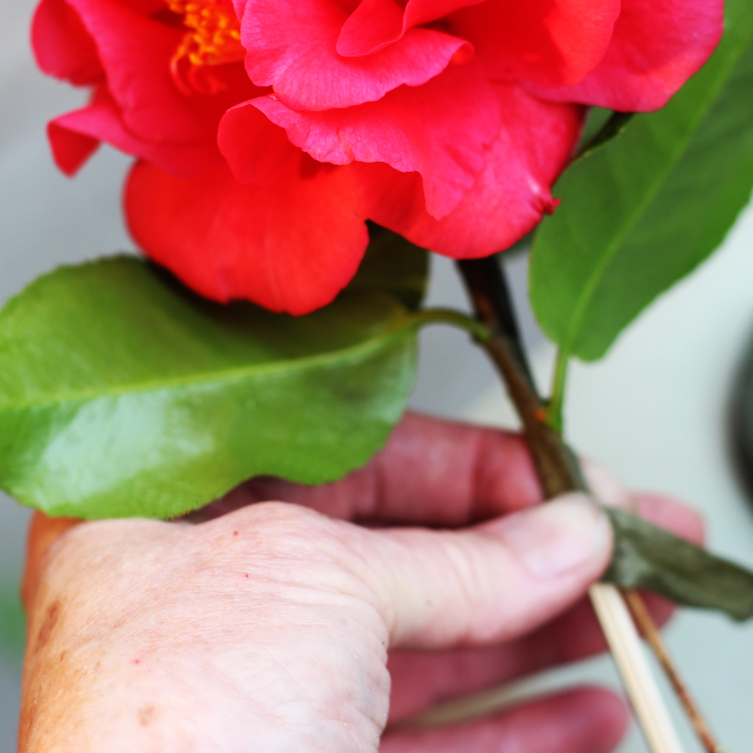 Camellia branches are thin & won't support the flower. Cut them as long as possible.