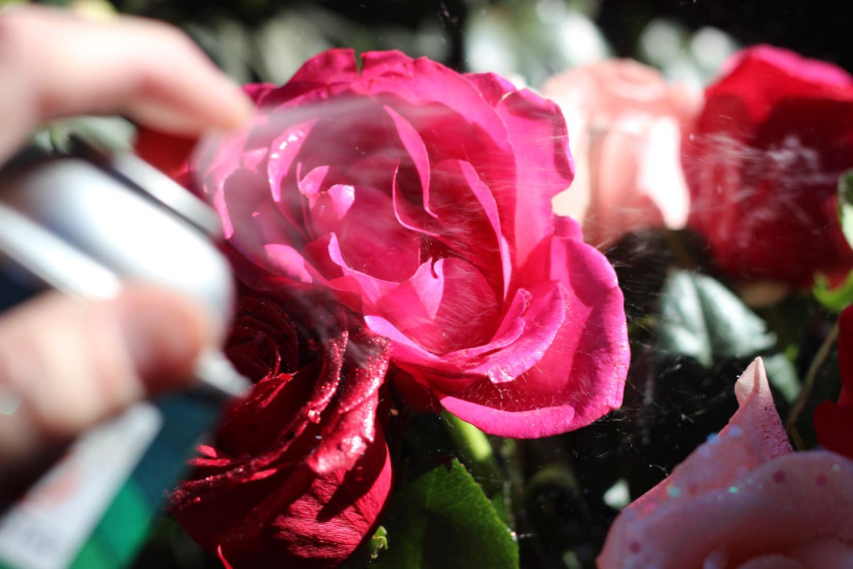 Spray edges one fuchsia rose.