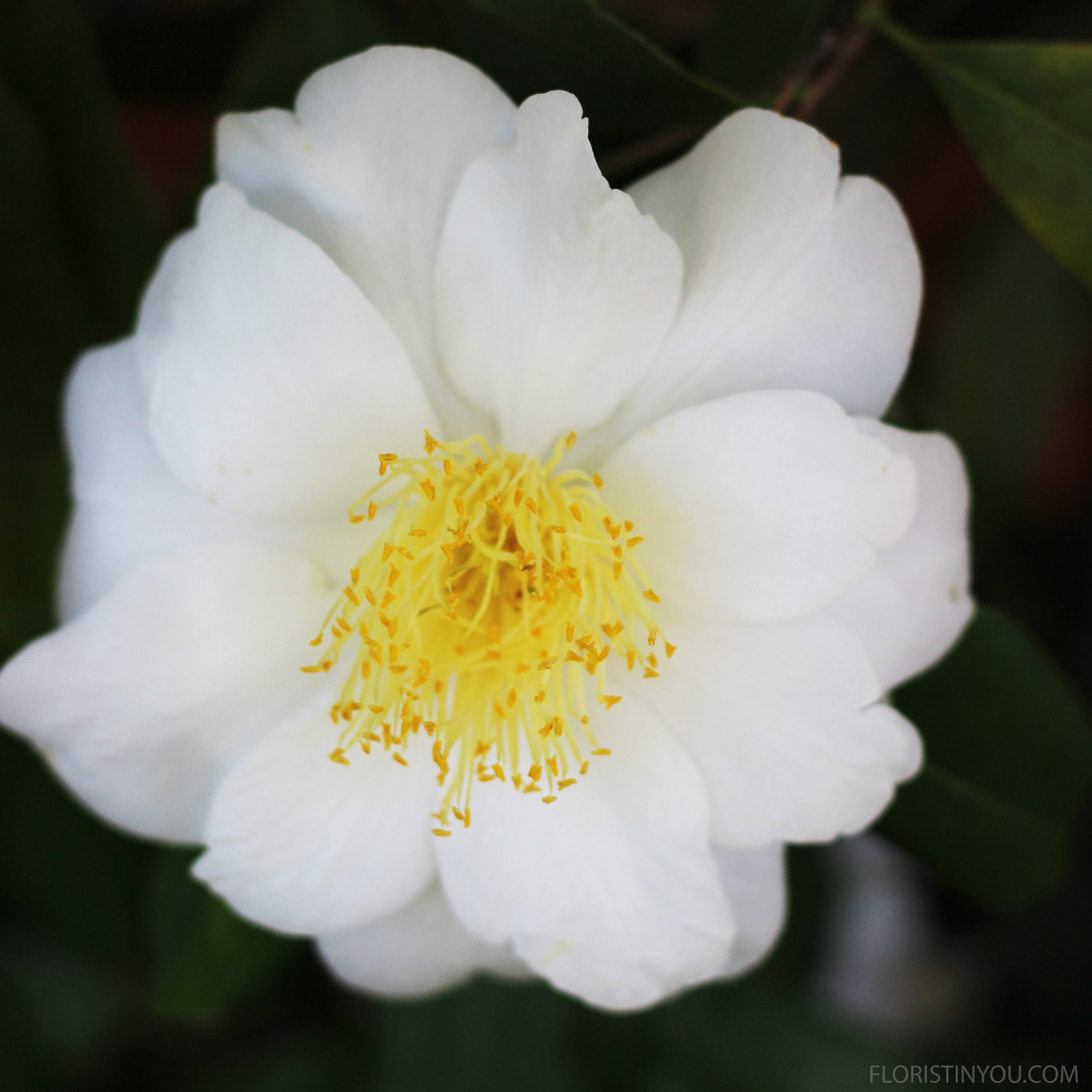 White camellia still on the bush. It's fabulous...very showy.