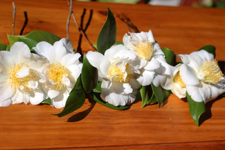 Cut 6 - 7 large white camellias, or 12 - 13 medium sized.