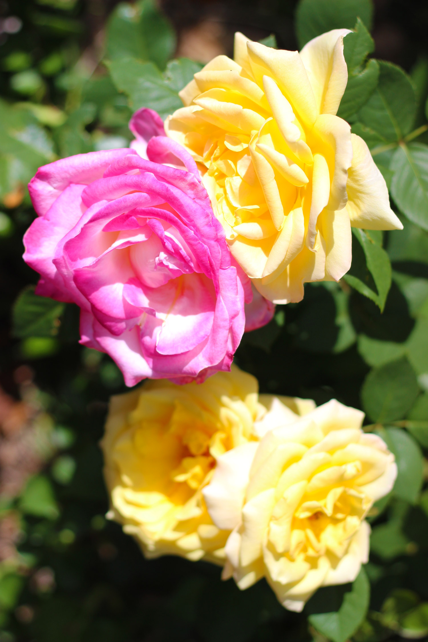 If you have them, you can use garden roses.