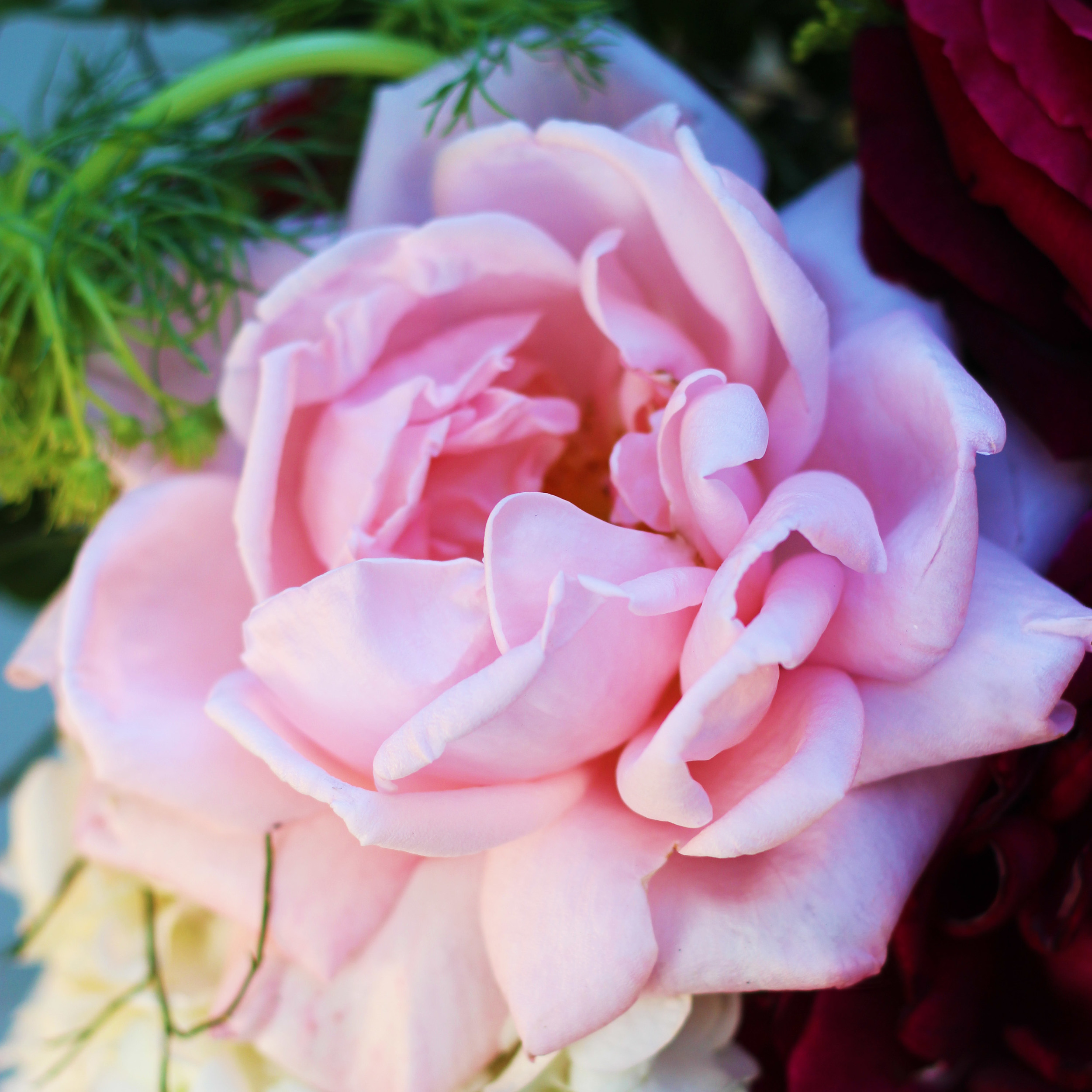 The New Zealand Rose has a different fragrance than the Mr. Lincoln, but equally as captivating.