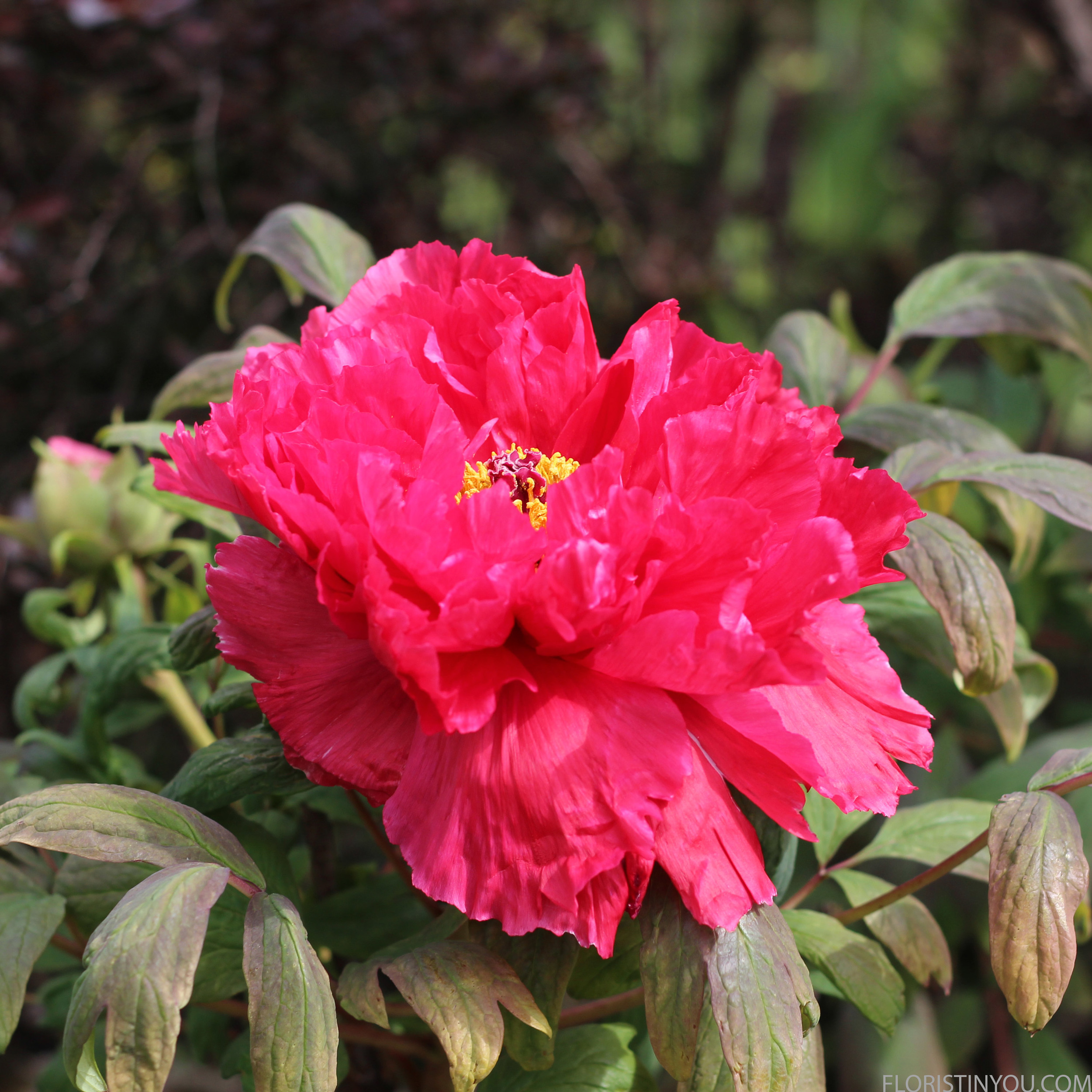 There were fuchsia tree peonies too the size of dinner plates.