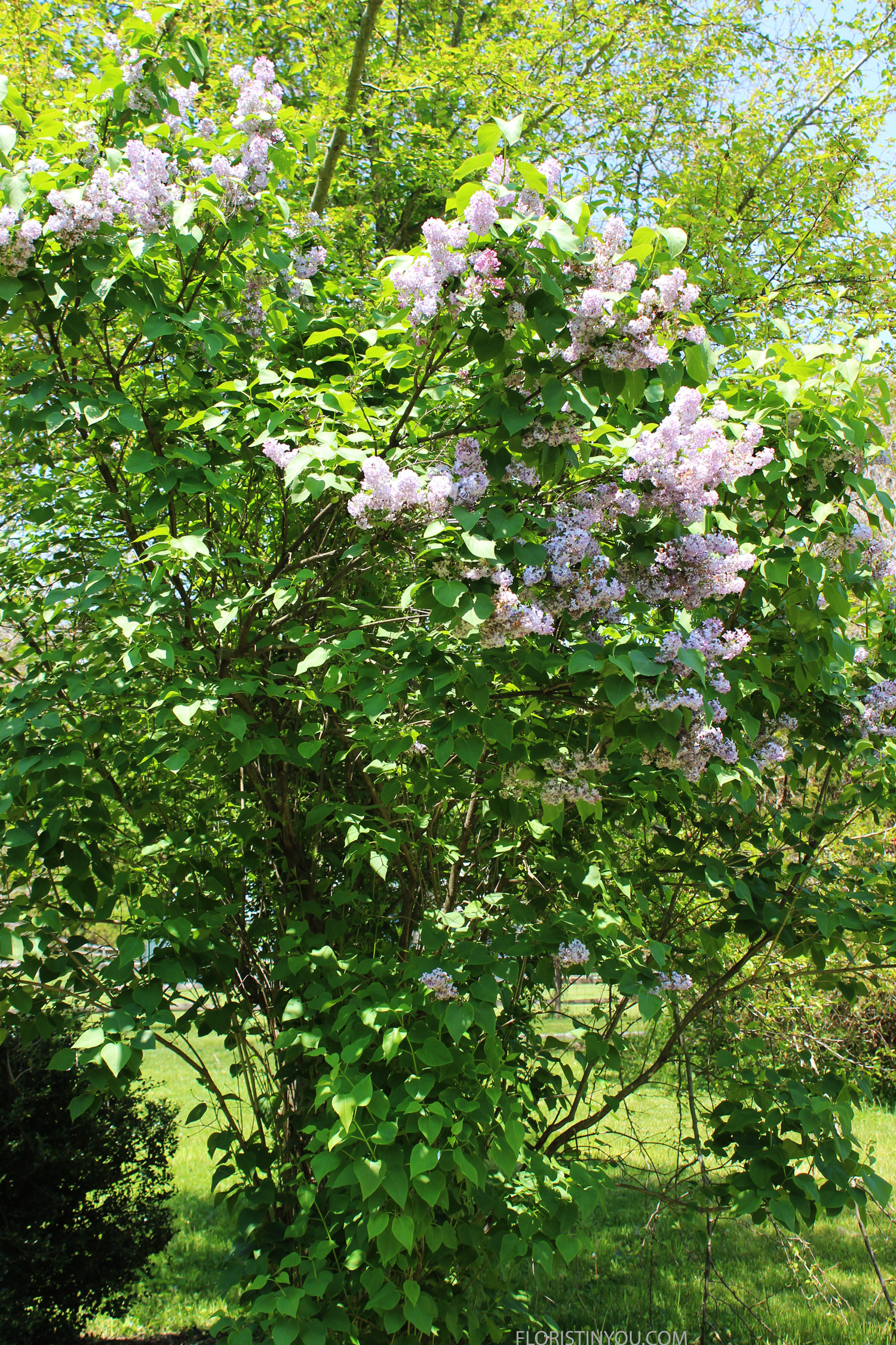 Back in St. James the lilac bush was blooming.