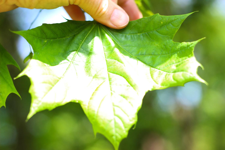 A maple leaf.