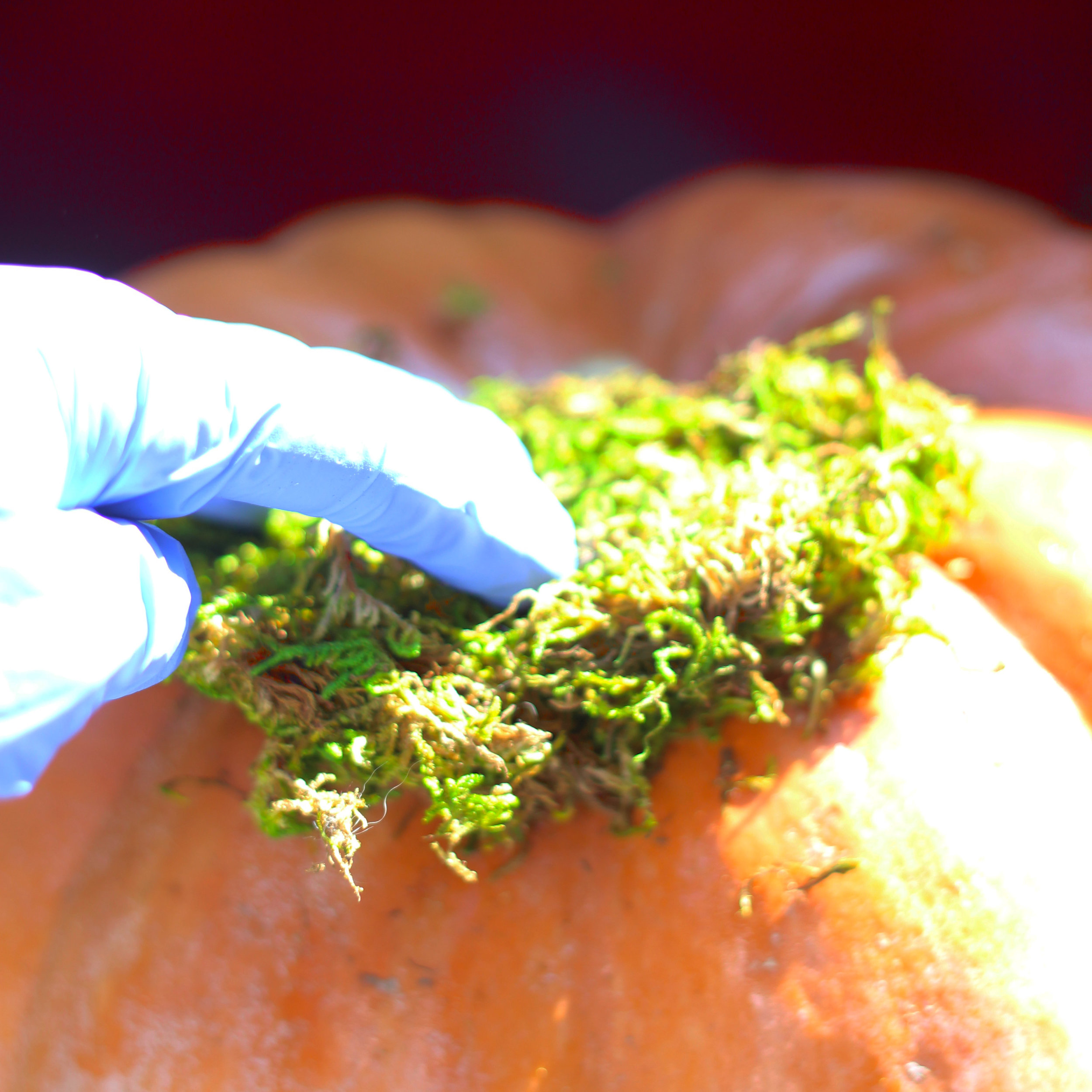 Push moss down and stick onto top of pumpkin.