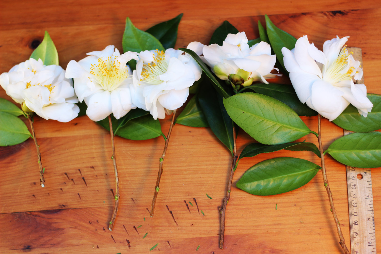 Cut 5 - 6 camellias. Cut stems as long as possible, from 6.5 - 11 inches.