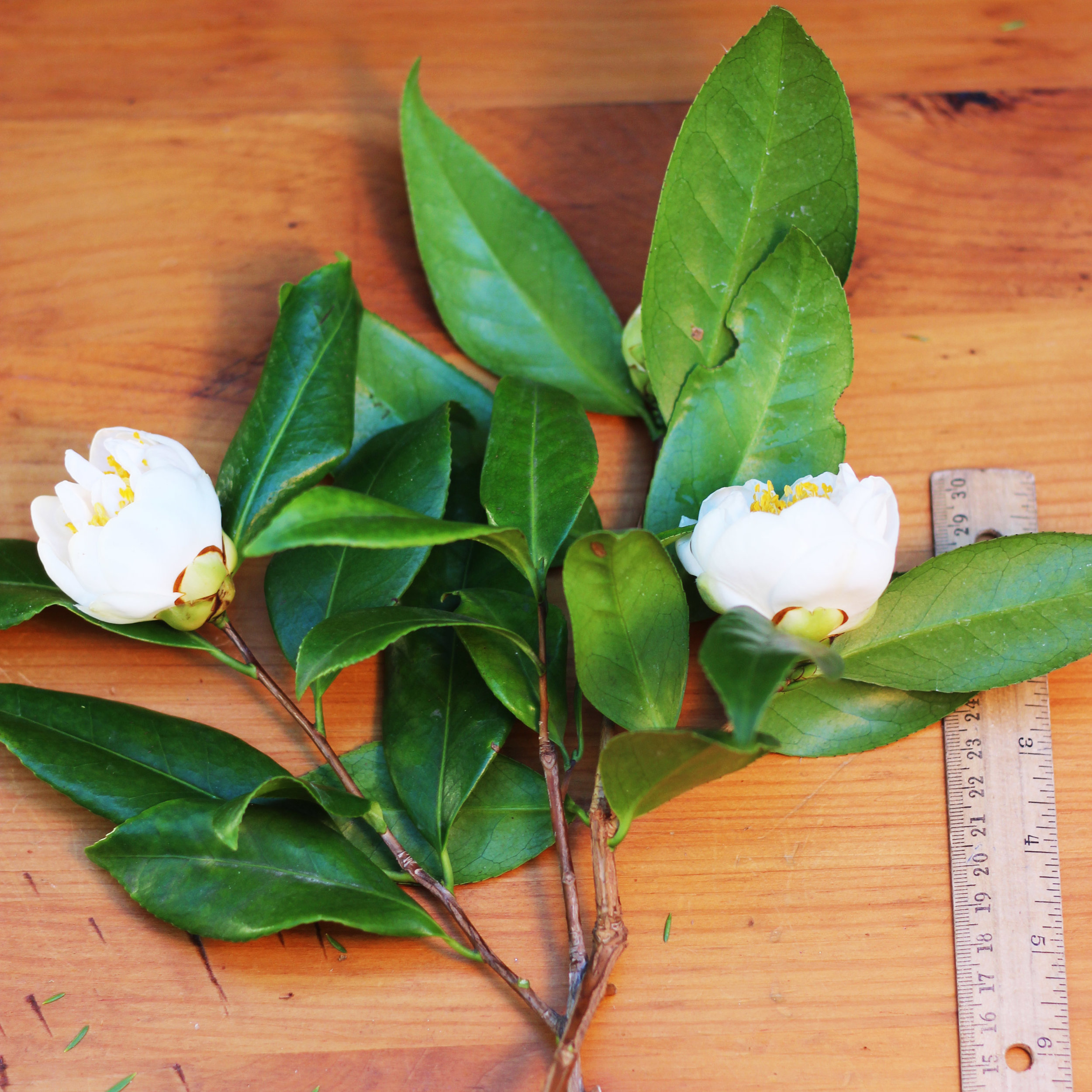 Cut 2 buds that are starting to open and their foliage. These are 9 inches long.