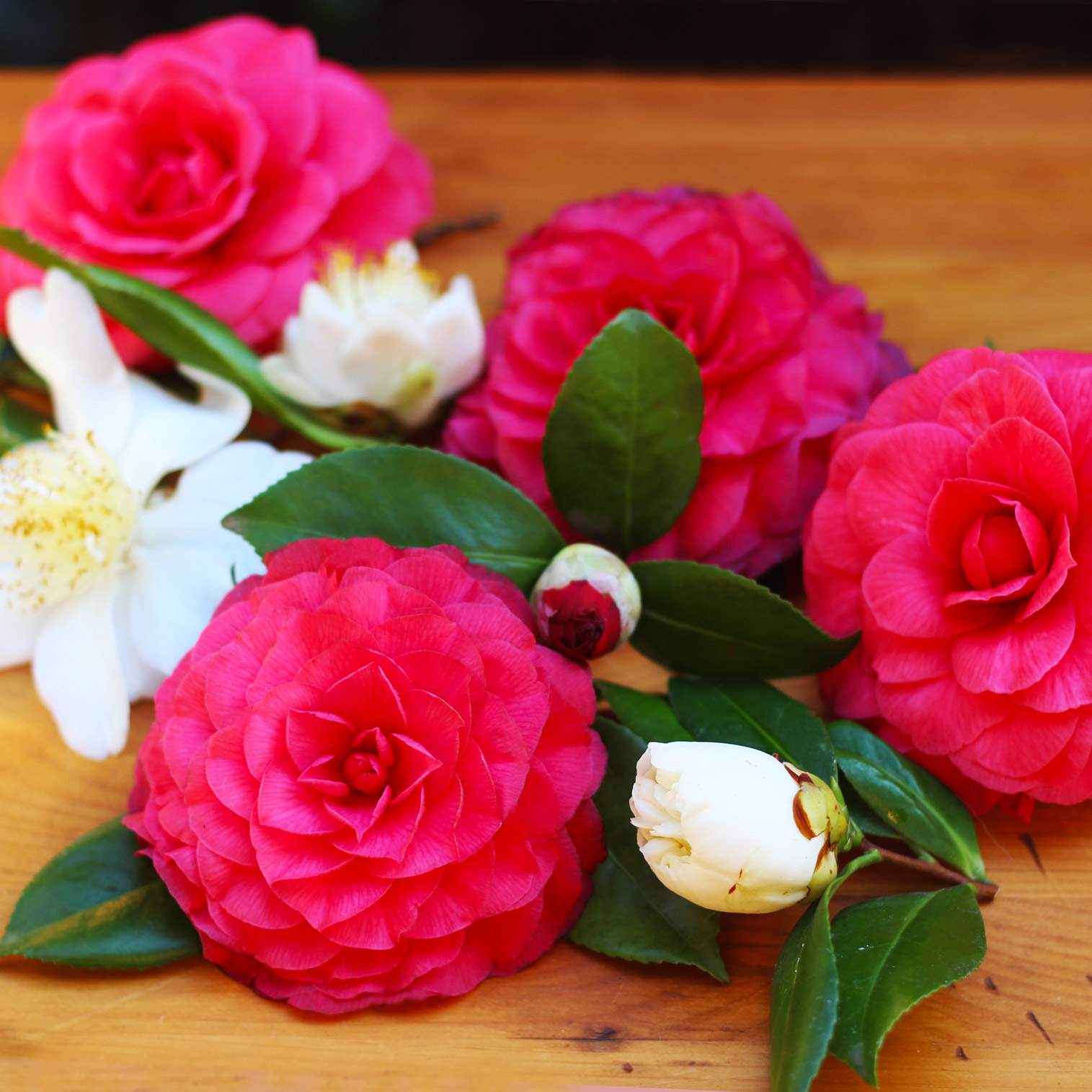 Cut 3 to 6 Camellia blooms.
