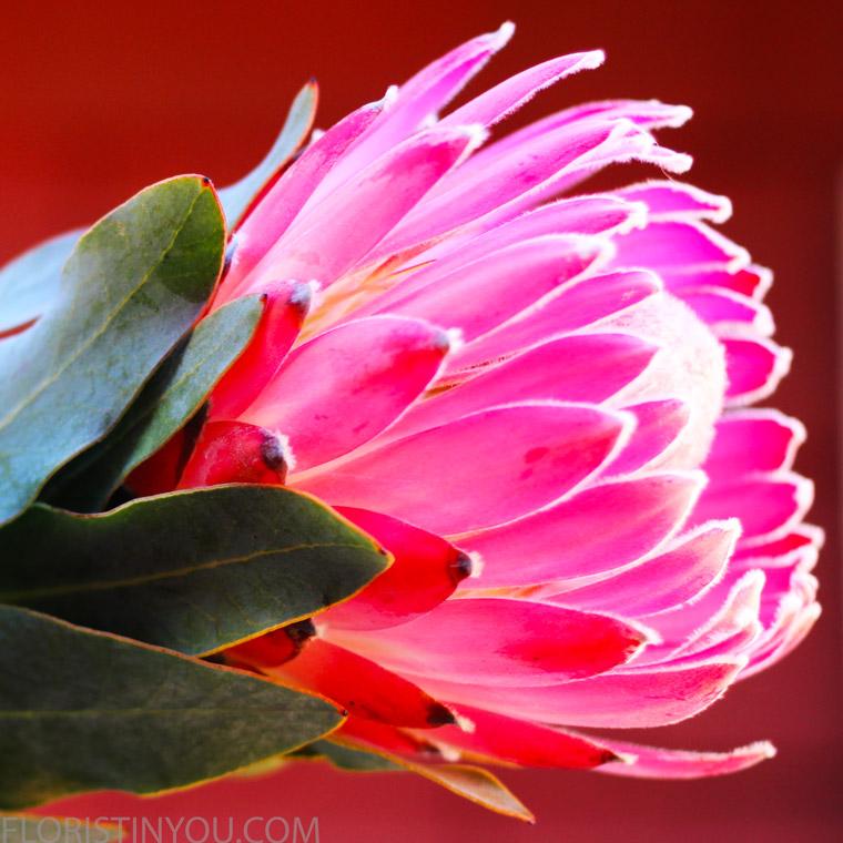 Pink Protea.