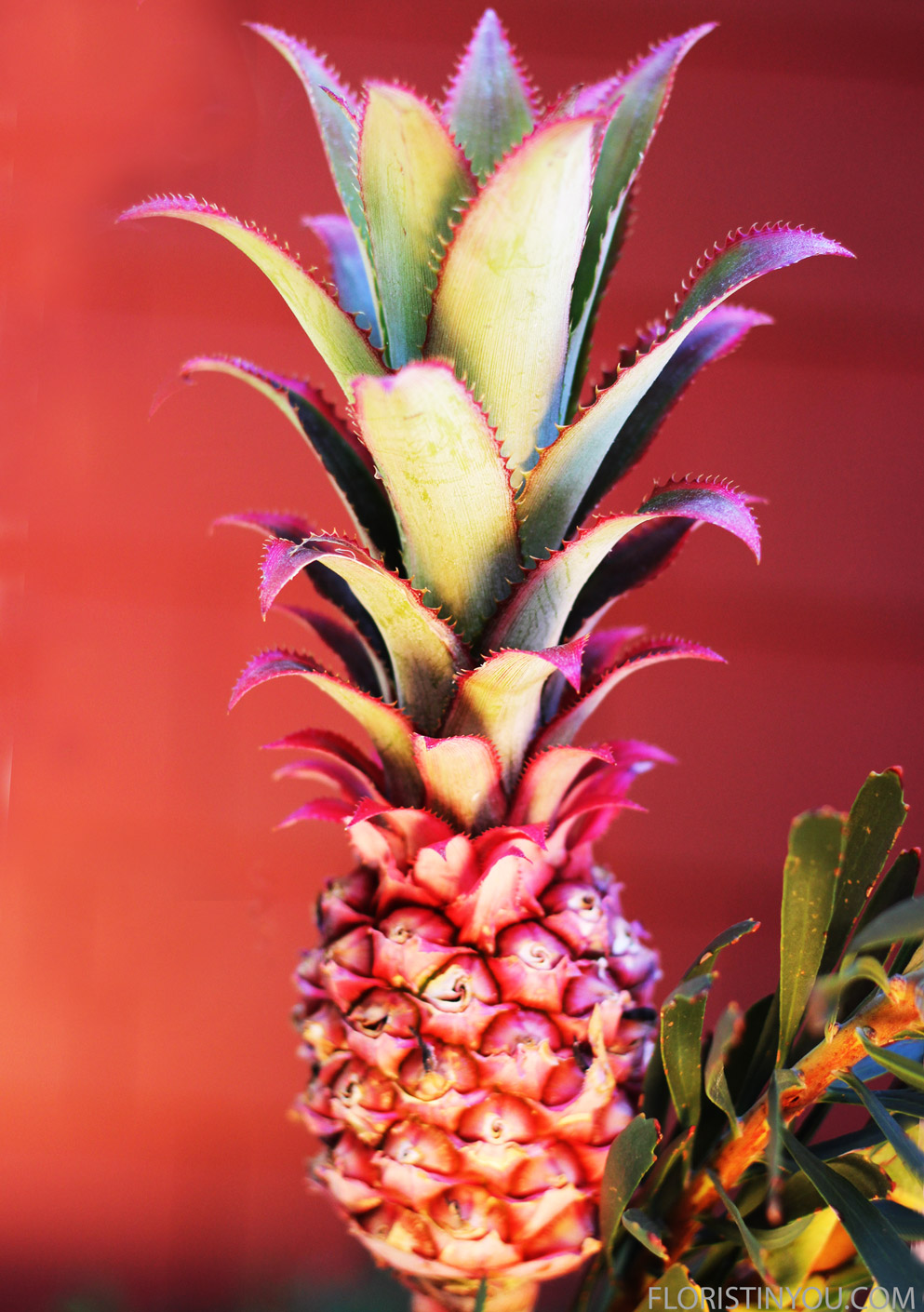 This is the Decorative Pink Pineapple. Fun.