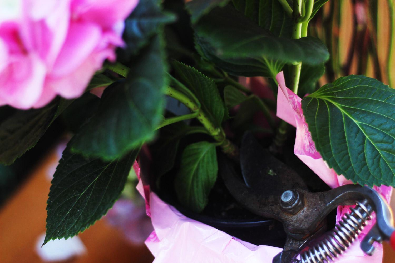 Cut hydrangea blooms as long as you can.