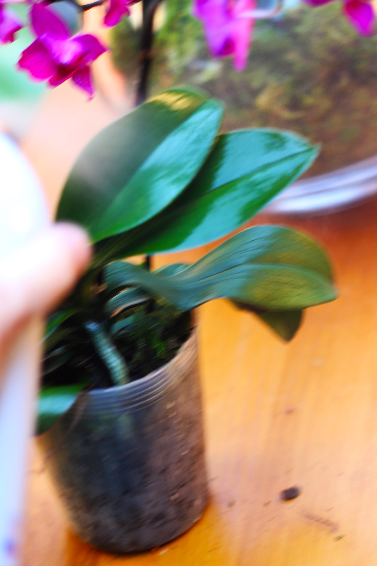 Spray leaves only of orchids. (Spray outside).